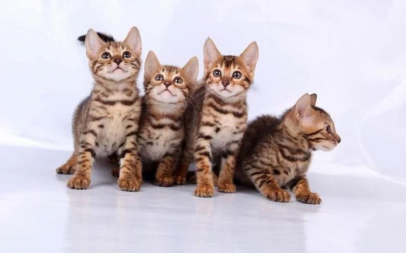 Как выбрать котенка - здоровье, порода, характер