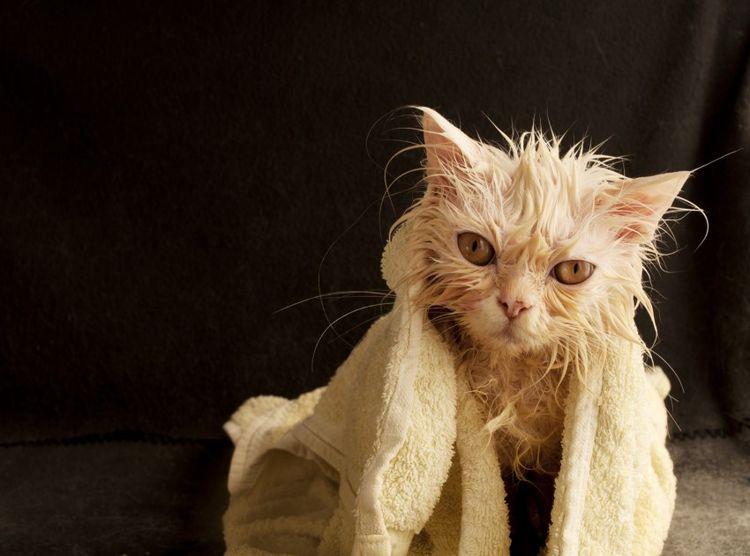 Рыжий кот после купания