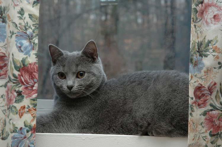 Картезианская кошка содержание и уход