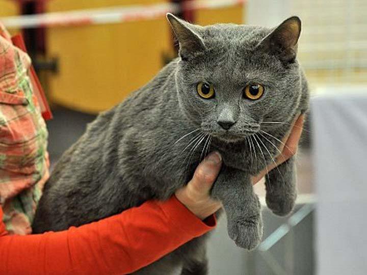 кошки породы Картезианская