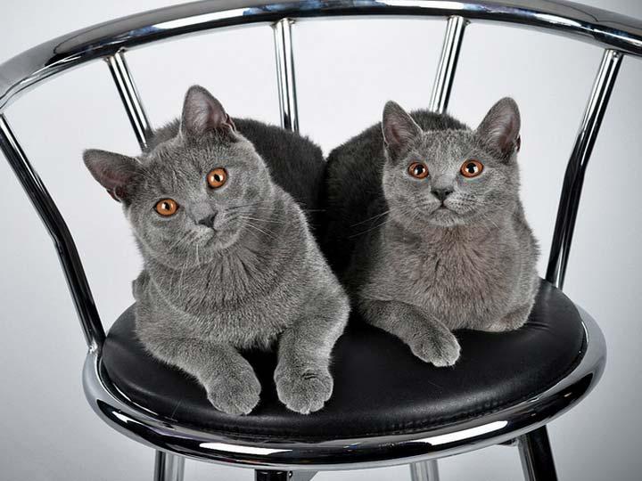 порода Картезианская кошка