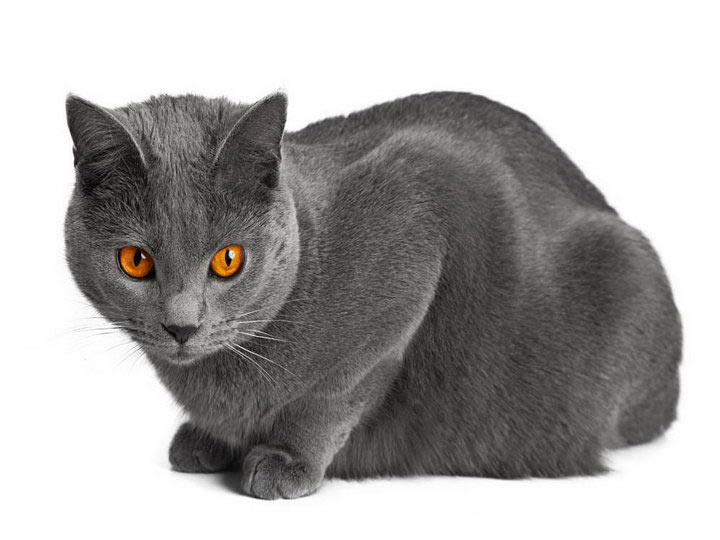 Картезианская кошка окрас
