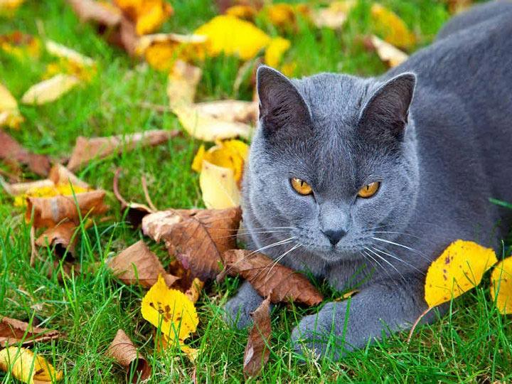 как выглядит Картезианская кошка