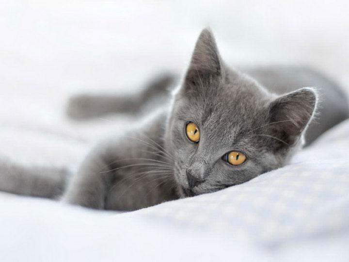 сколько стоит Картезианская кошка