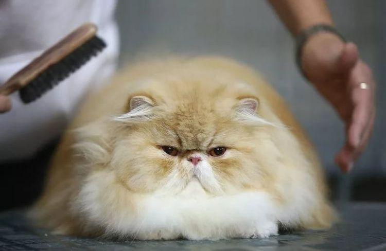Кота вычесывают