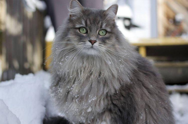 Серый пушистый кот