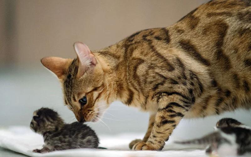 Кошка не знает что делать с котенком, отказывается кормить, что делать