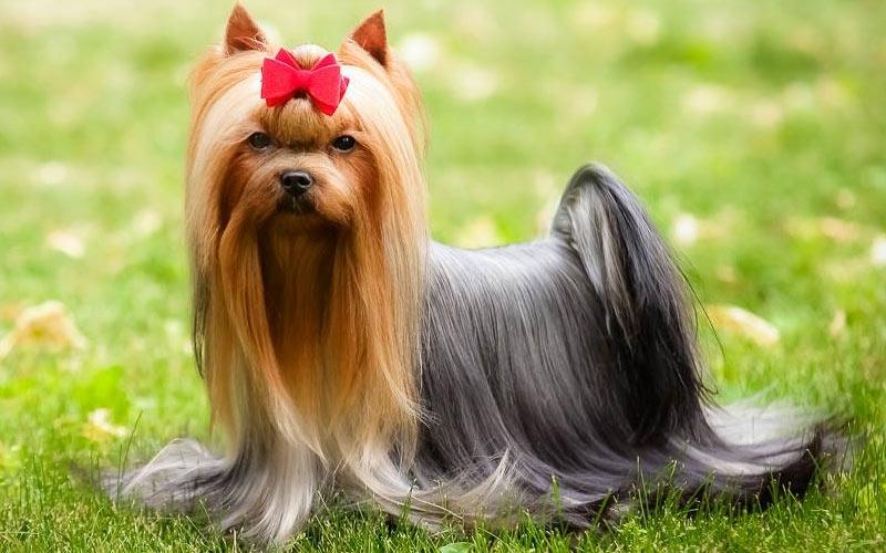 Йоркширский терьер - популярные мелкие породы собак