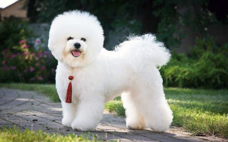 Бишон-фризе - маленькие породы собак