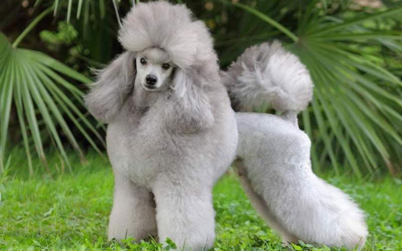 Той-пудель - популярные маленькие породы собак