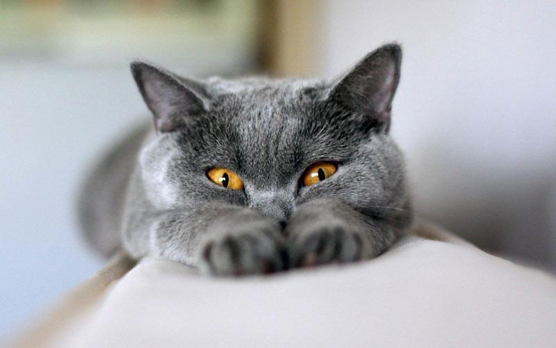 Симптомом какой болезни кошки может быть высунутый язык