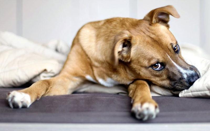 Запах от собаки при течке, что делать