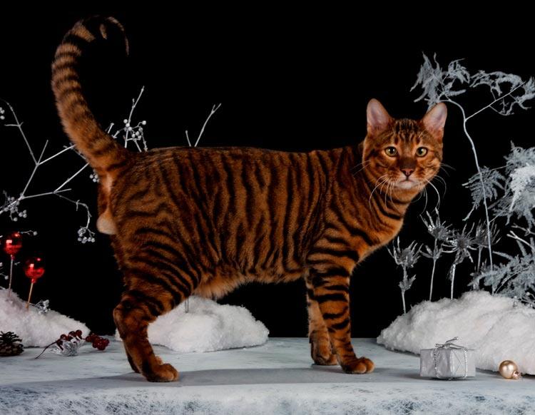 самая дорогая порода кошек