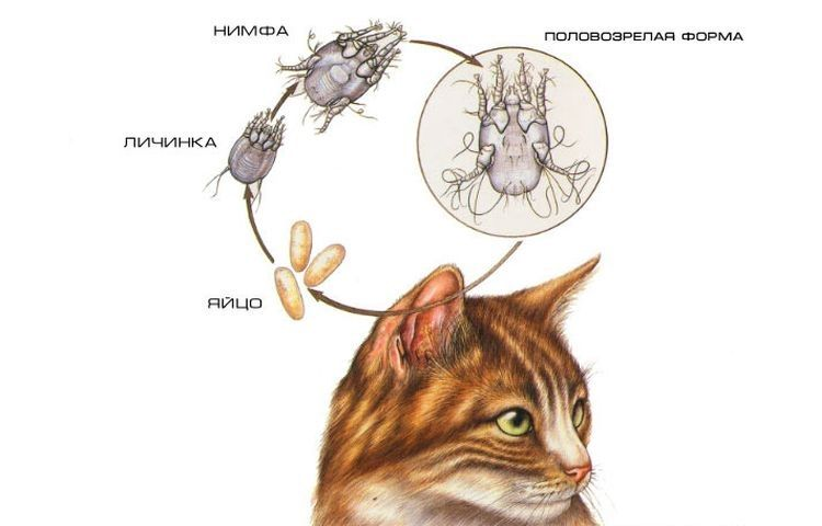 Отодектоз у кота