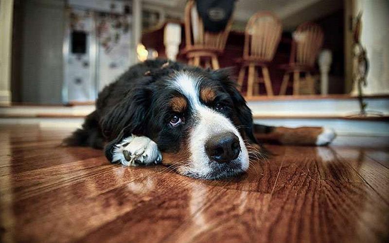 Заворот желудка у собак - симптомы, причины, лечение