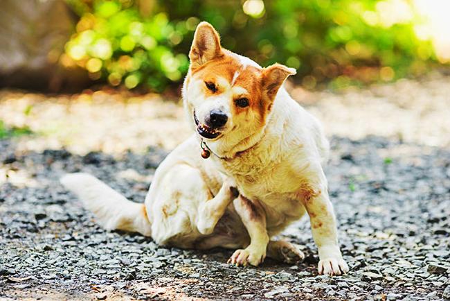 Перхоть и зуд у собаки