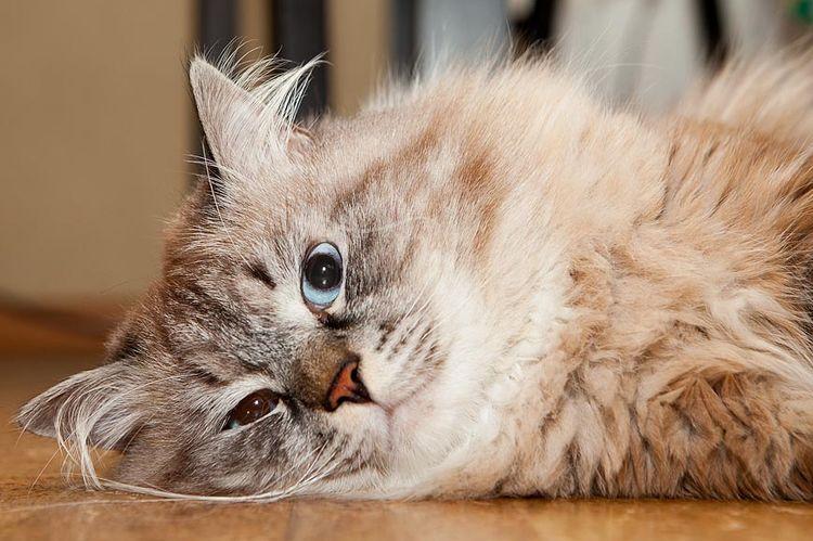 Пушистый кот