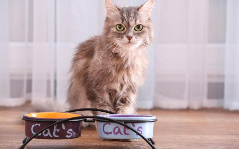 Кошка или кот  отказываются от пищи - что делать