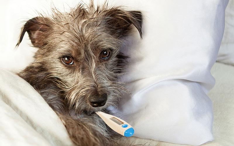 Парвовирусный энтерит у собак - симптомы, диагностика, лечение