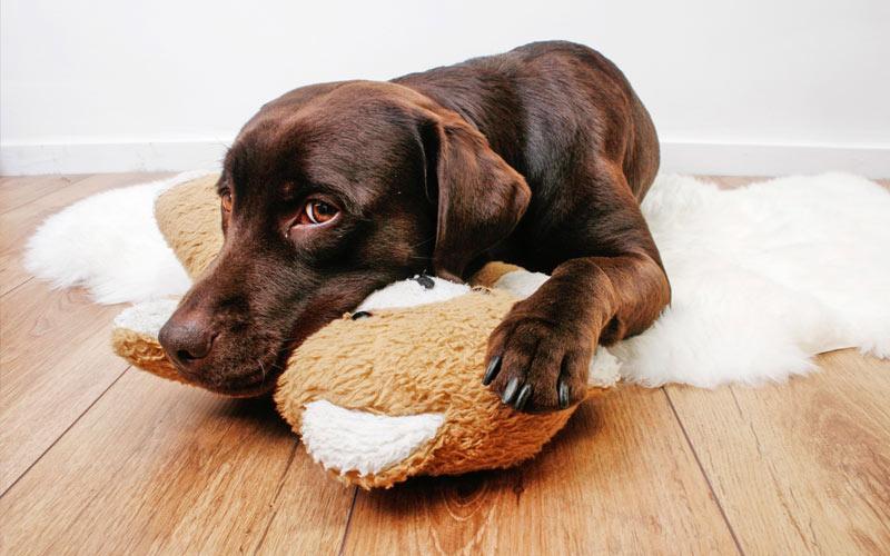 Как распознать и вылечить энтерит у щенка