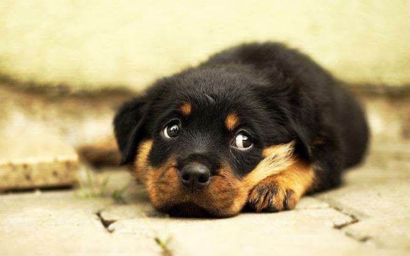 Как лечат энтерит у собак, процент выживания щенков