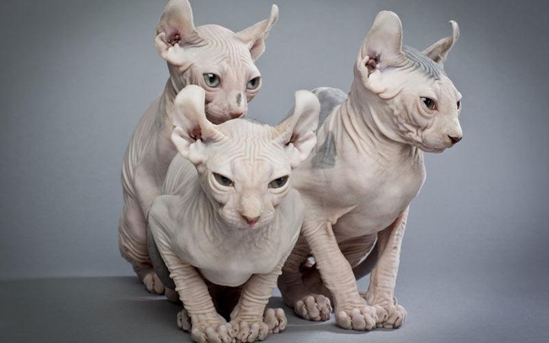 Эльф - лысые породы кошек