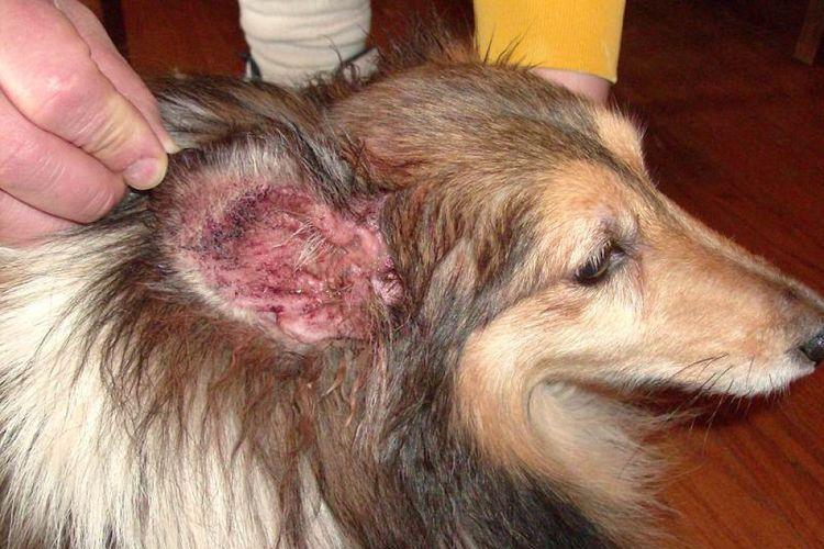 Симптомы отита у собаки