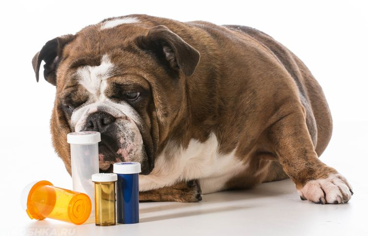 Собаке дают лекарства