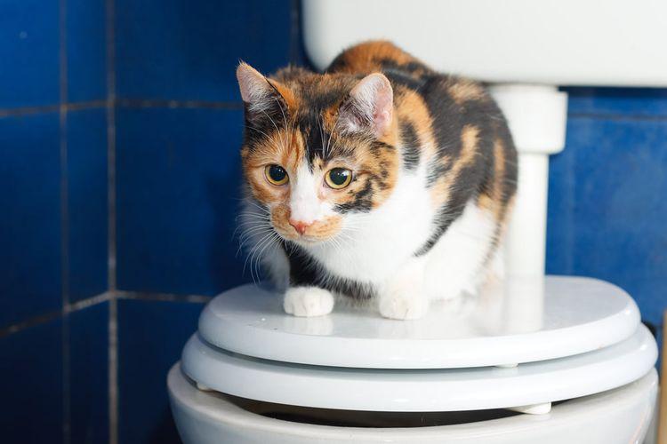 Кот на крышке унитаза
