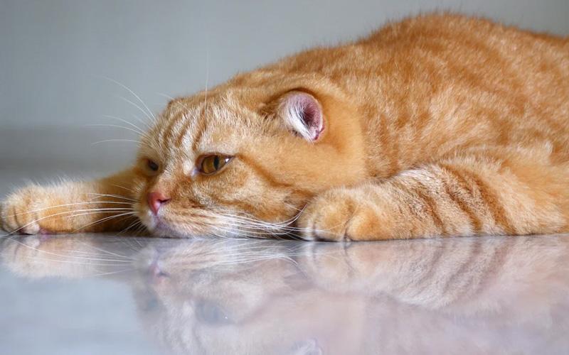 Как проявляется стоматит у котов и кошек