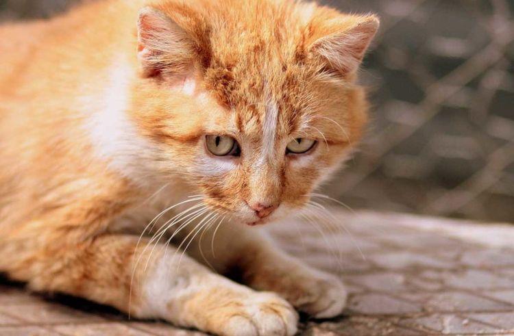 Бронхит у кота