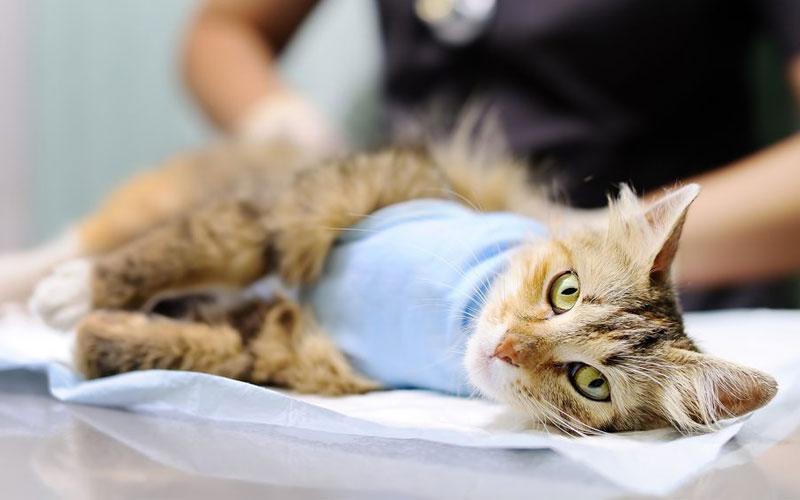 Методы прерывания беременности у кошке и собак