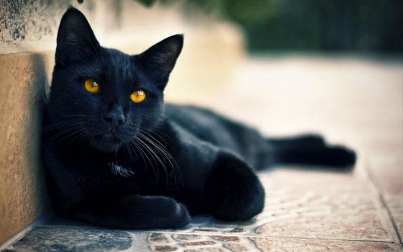 Имена для черного кота и кошки (популярные, необычные, тематические, креативные)