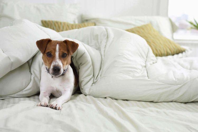 Собака лежит на кровати