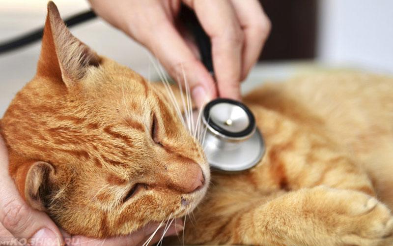 Сердечная недостаточность у кошек симптомы, лечение