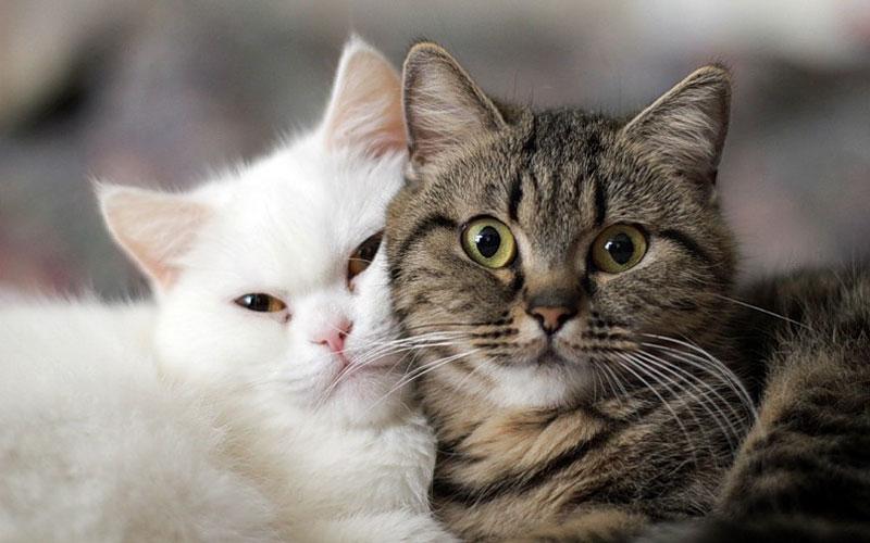 Причины и симптомы сердечной недостаточности у котов и кошек