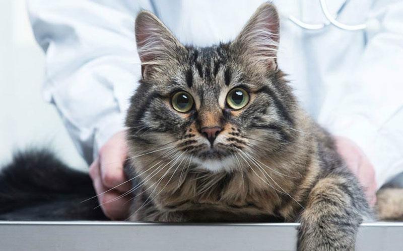 Лечение сердечной недостаточности у кота