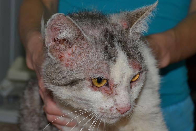 Бактериальные дерматиты у кошек основные причины и методы лечения