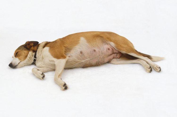 Беременная собака лежит
