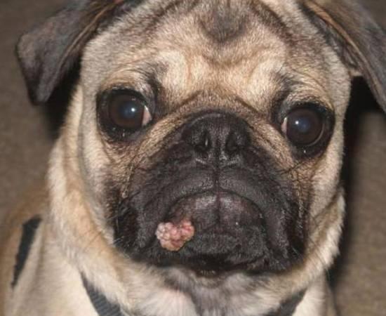 Папилломы у собак - причины, виды, локализация, лечение
