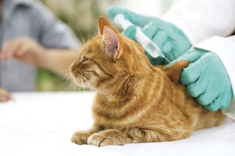 Вакцинация рыжего кота от бешенства