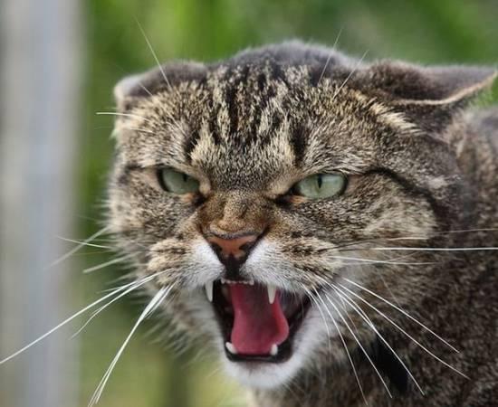 Бешенство у котов