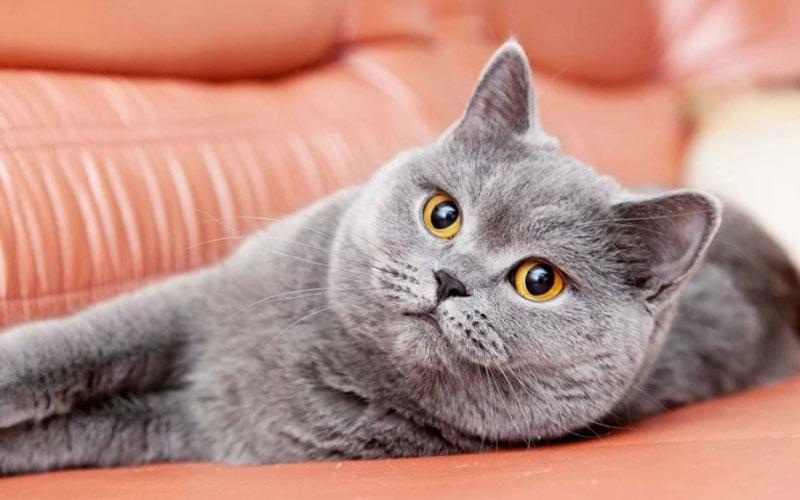 Короновирусая инфекция у кошек и перитонит