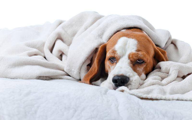 Причины и диагностика отека легких у собаки
