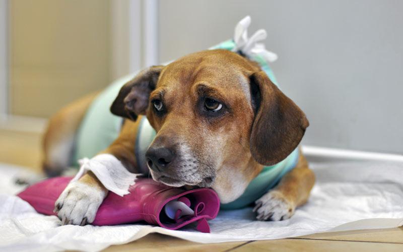 Лечение отека легких у собак - восстановительный период