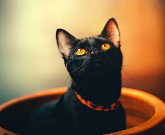 Папилломы у кошек