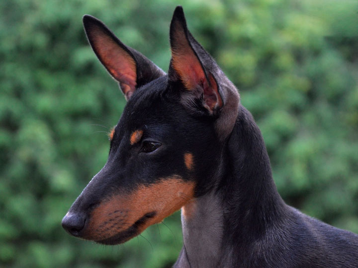 Английский той-терьер черно-подпалый (English Toy Terrier)