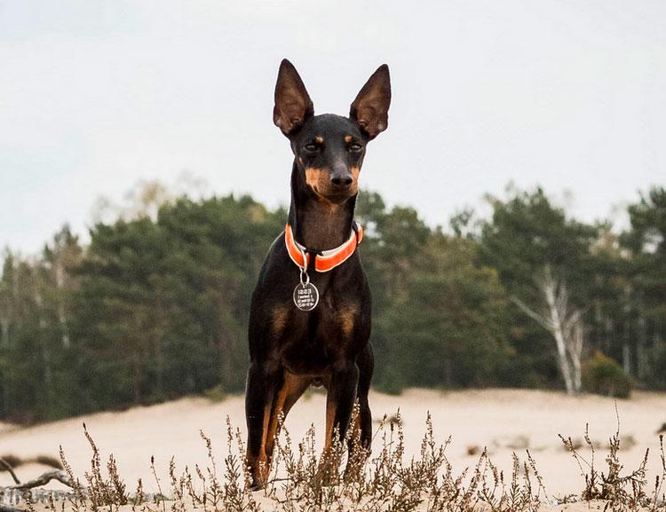 порода собак английский той-терьер