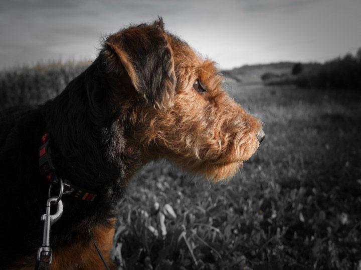 собака эрдельтерьер