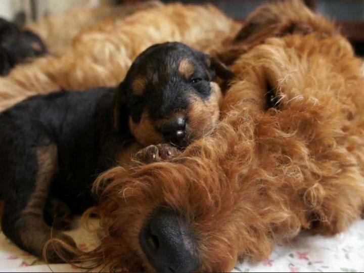 новорожденный щенок эрдельтерьера